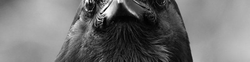 Immagine di un corvo